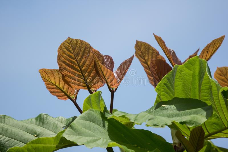 Green Leaf of teak tree royalty free stock images