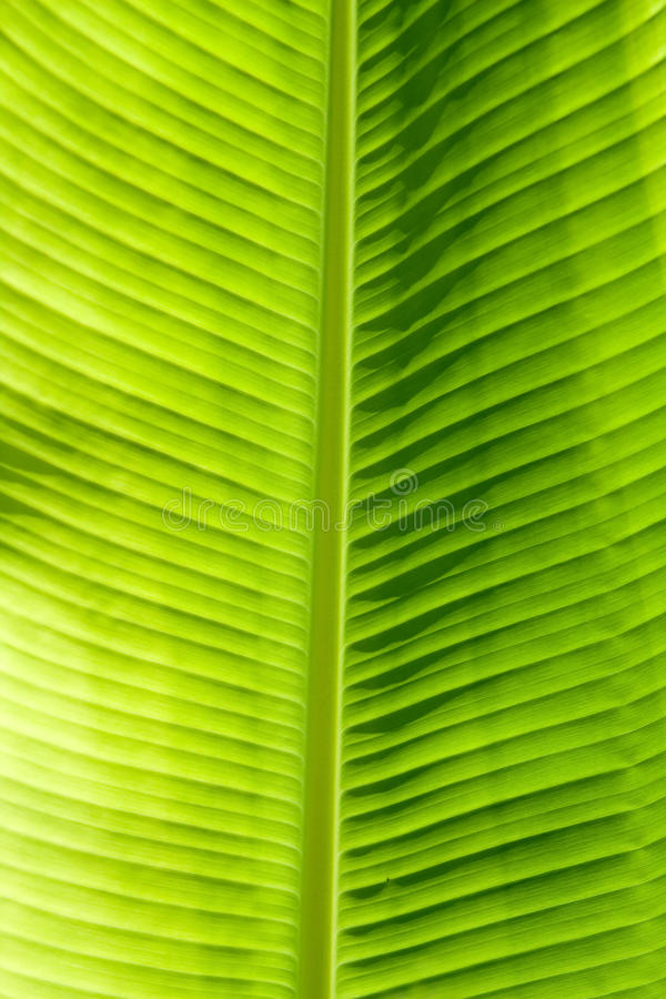 Green leaf texture. Showing all nerves; Chloroplast with chlorophyll giving color to leaf and used for photosynthesis royalty free stock photos