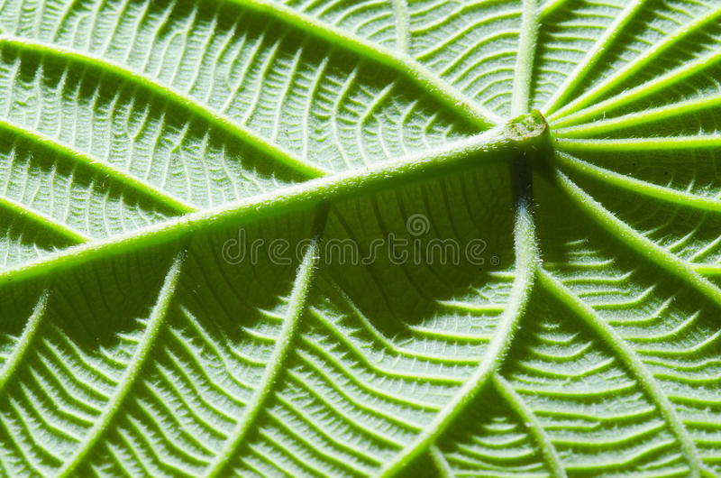 Download Green leaf texture stock photo. Image of grow, life, botany - 24034018