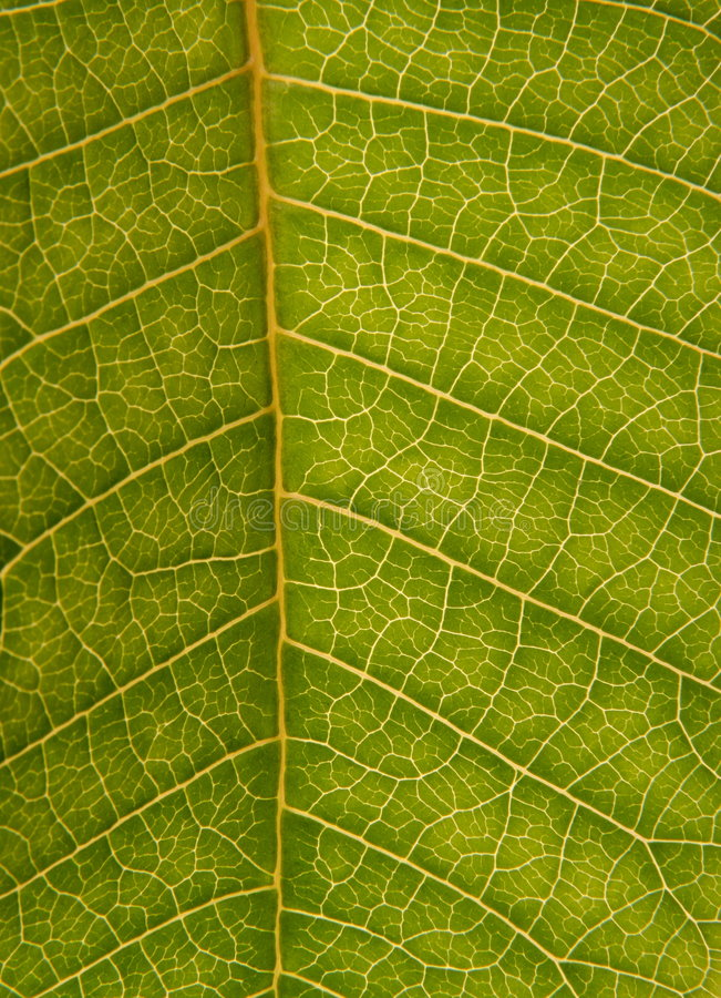 Free Green Leaf Texture Royalty Free Stock Photo - 5925495