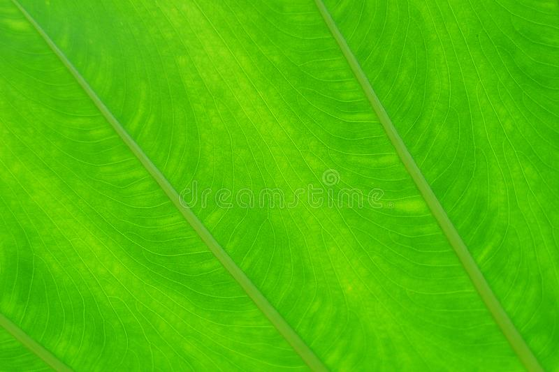 Green leaf texture for background. abstract autumn background beauty botany bright cell closeup stock images