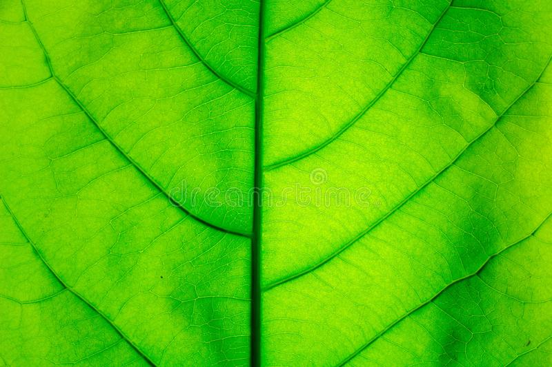The Green Leaf Texture background with light behind royalty free stock photos