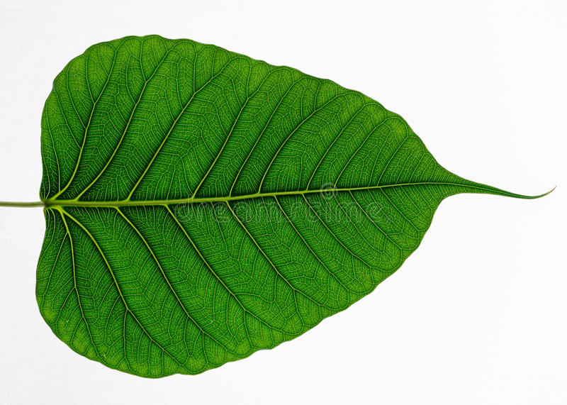 Green leaf texture Bo leaves on white background.  royalty free stock photography