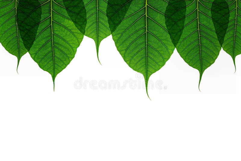 Green leaf texture Bo leaves on white background.  stock photo