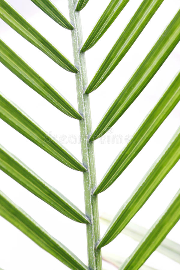 Free Green Leaf Texture Closeup Royalty Free Stock Image - 14943576