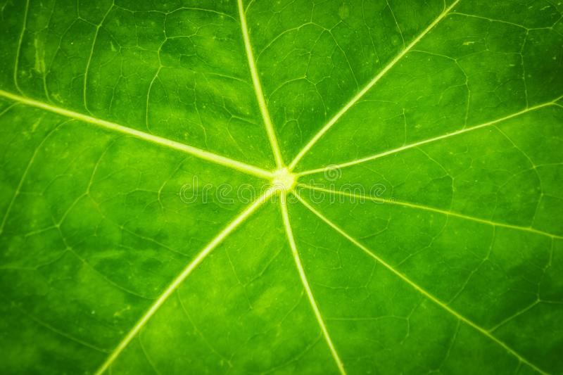 Green Leaf texture closeup nature pattern plant. Biology royalty free stock image