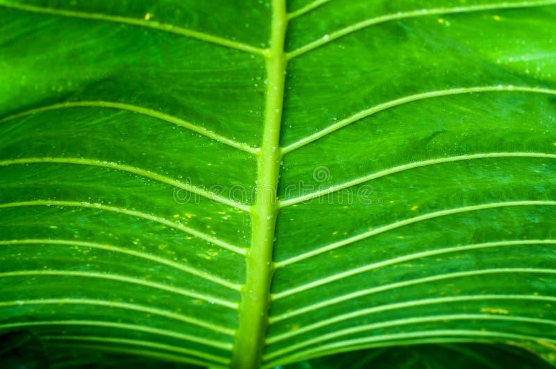 Green leaf texture- taro leaf stock photos