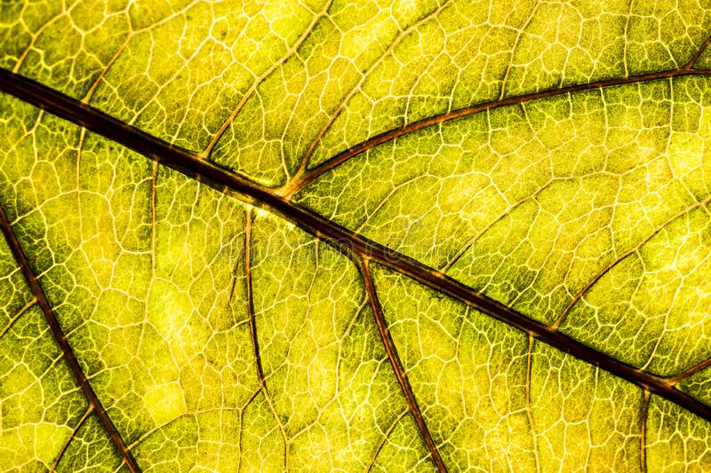 A green leaf of a tree is a big magnification. Macro shooting. Background image of a leaf of a tree close up. A green leaf of a tree is a big magnification royalty free stock image
