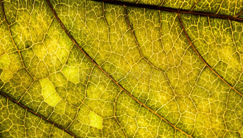 A green leaf of a tree is a big magnification. Macro shooting. Background image of a leaf of a tree close up. A green leaf of a tree is a big magnification royalty free stock images