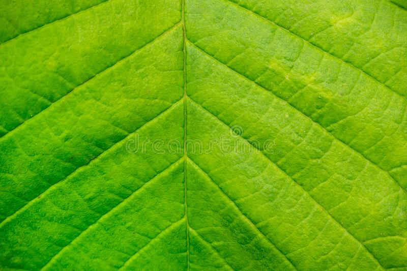 Green leaf of a tree close-up. Macro shooting. Texture stock image