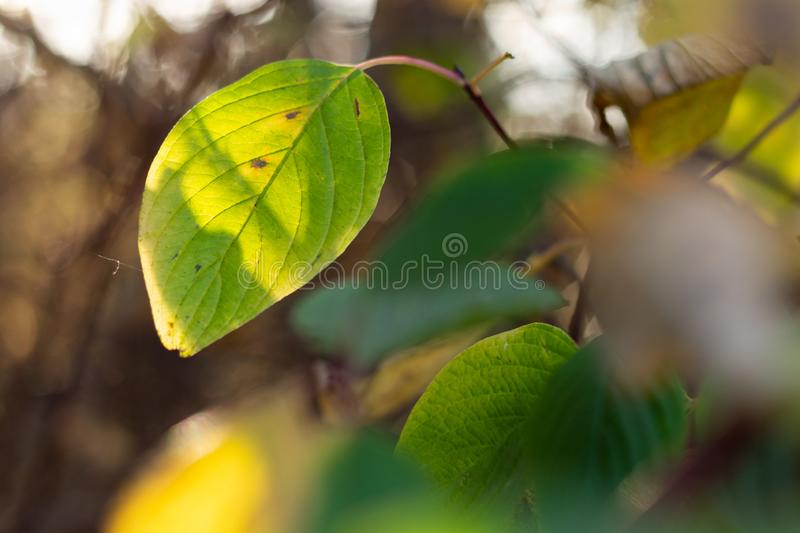 Green leaf of the tree in the soft sunlight. Green leaf on a branch in soft sunlight close-up like a background. beautiful background blur stock photos