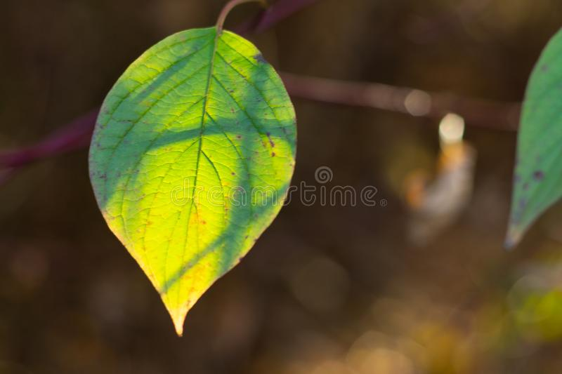 Green leaf of the tree in the soft sunlight. Green leaf on a branch in soft sunlight close-up like a background. beautiful background blur royalty free stock images