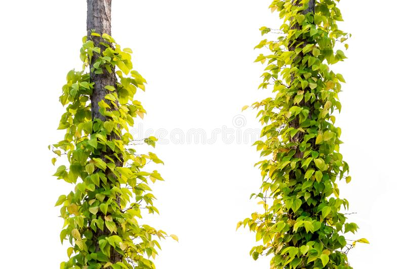 Green leaf on trees / Yellow leaf on a white background. File contains with clipping path royalty free stock image