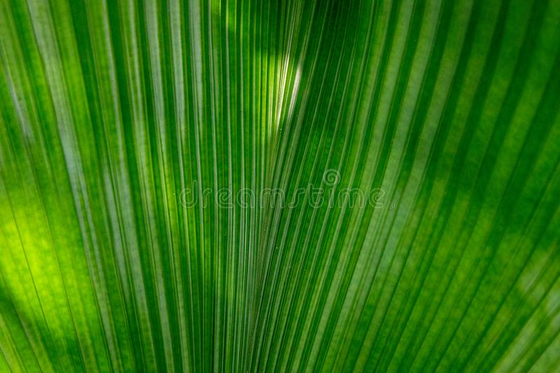 Green leaf of tropical plant. Decorative flora in sunlight. Palm as houseplant. Tropical leaf texture closeup stock photography