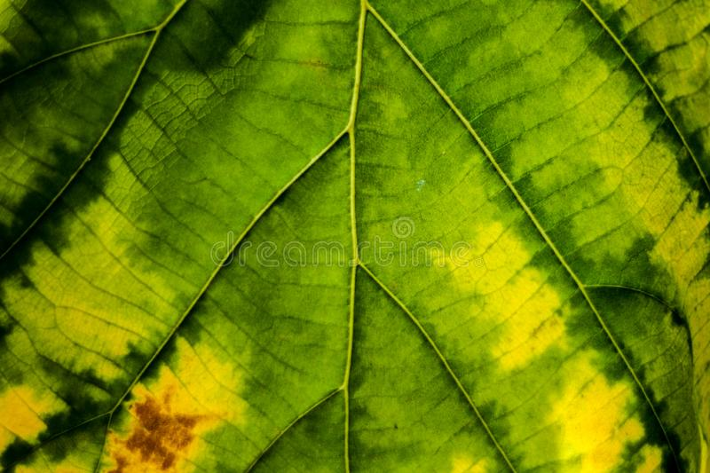 Green leaf turn to yellow texture macro close-up background royalty free stock photography