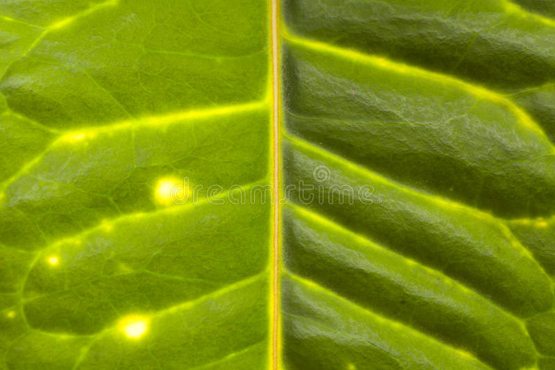Download Green leaf veins stock photo. Image of light, autumn - 10739836