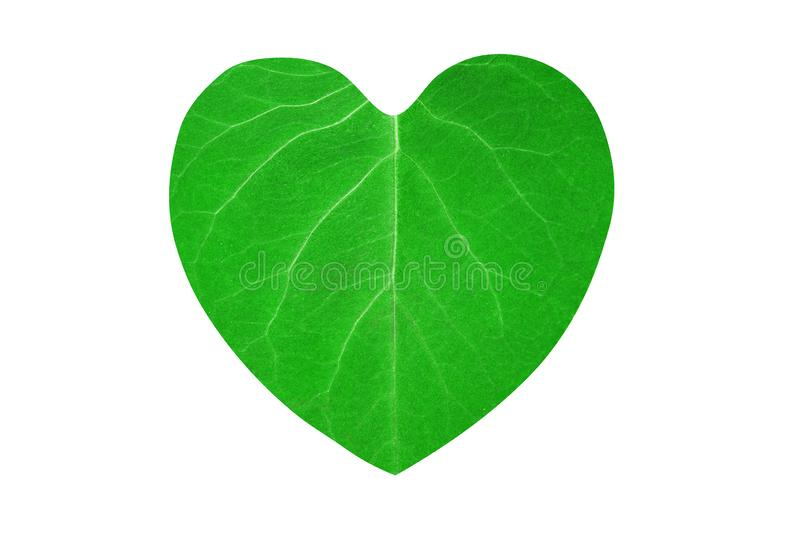 Green leaf with veins of heart shape isolated on white background stock photos
