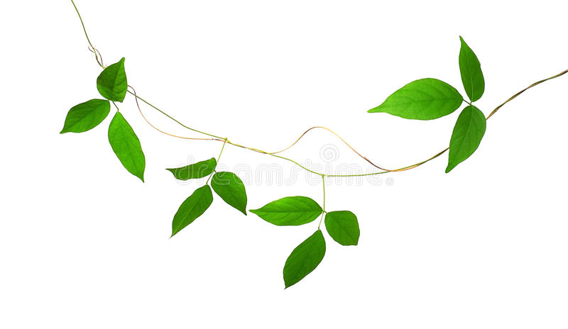 Green leaf vines isolated on white background, clipping path inc royalty free stock photo
