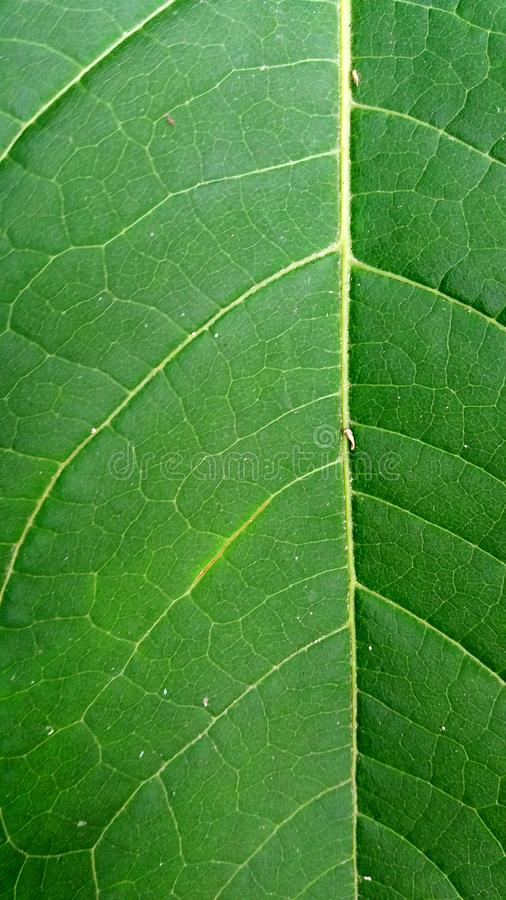 Green leaf with visible veins wallpaper royalty free stock photography