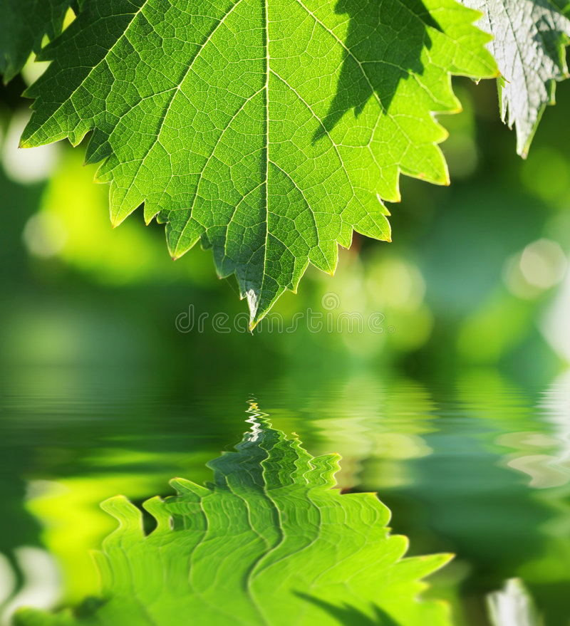 Green leaf water. Green leaf over water reflection royalty free stock photo