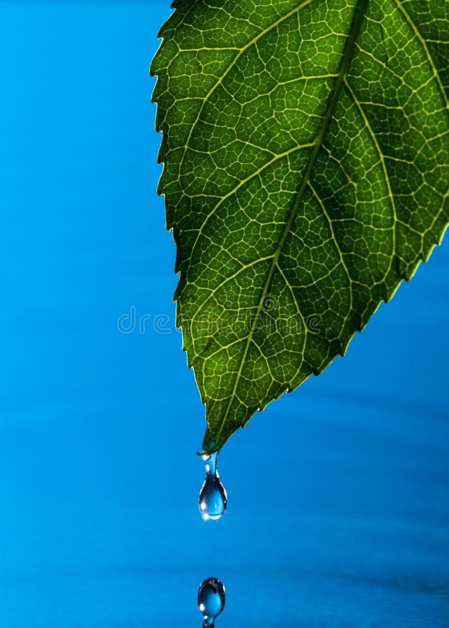 Green Leaf and Water Drop. With Reflection royalty free stock photography