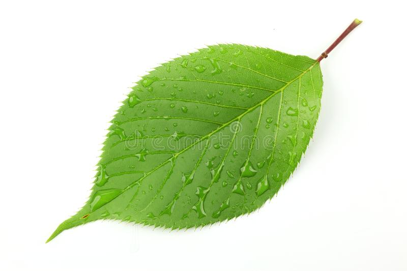 Green leaf with water droplets royalty free stock photos