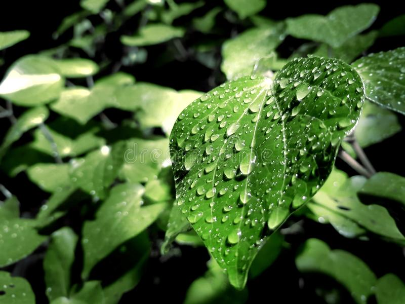 Green Leaf With Water Droplets on Top royalty free stock image