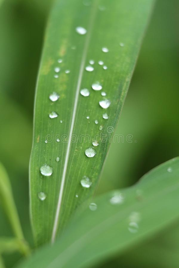 Green leaf with water drops at garden royalty free stock photography