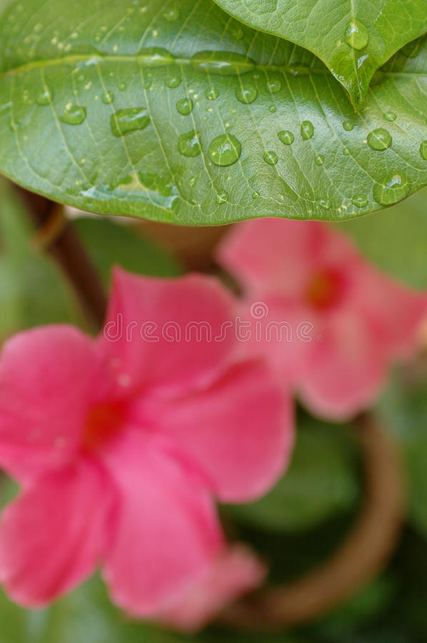 Green leaf with water drops with pink flower. Natural and organic nature scene. stock image