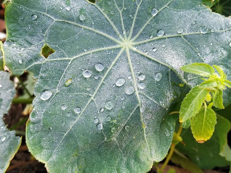Green leaf with water drops. In Rociana del Condado province of Huelva Spain royalty free stock image