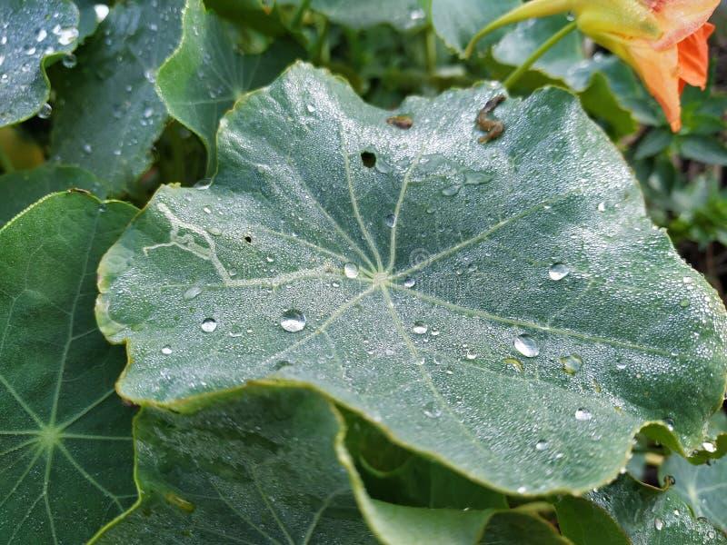 Green leaf with water drops. In Rociana del Condado province of Huelva Spain royalty free stock photo