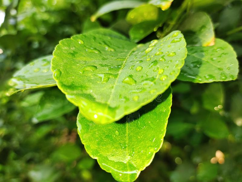 Green leaf with water drops. Green wet leaves, focus on droplet with reflection stock photography