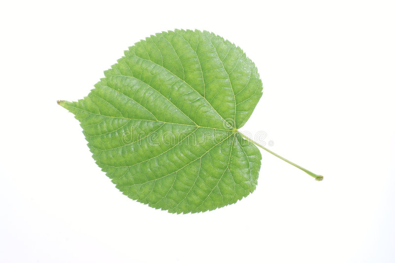 Green leaf on white background royalty free stock photo
