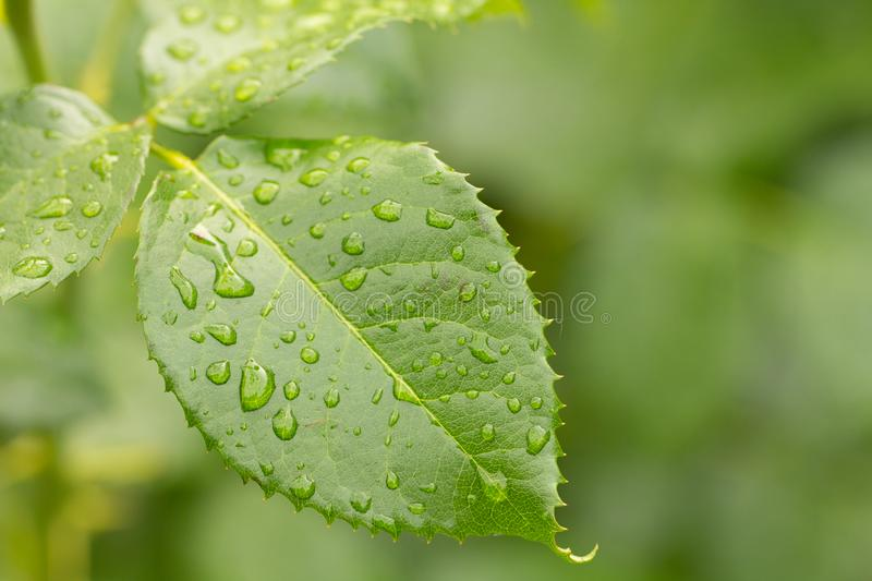 green leaf of young rose with water drops royalty free stock photography