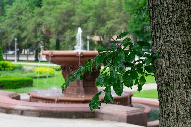 Green Leafed Branch from a tree in front of a Fountain in Grant Park in Chicago stock photos