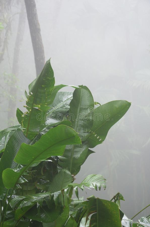 Green leafed plant in Jungle. With mist in background royalty free stock image