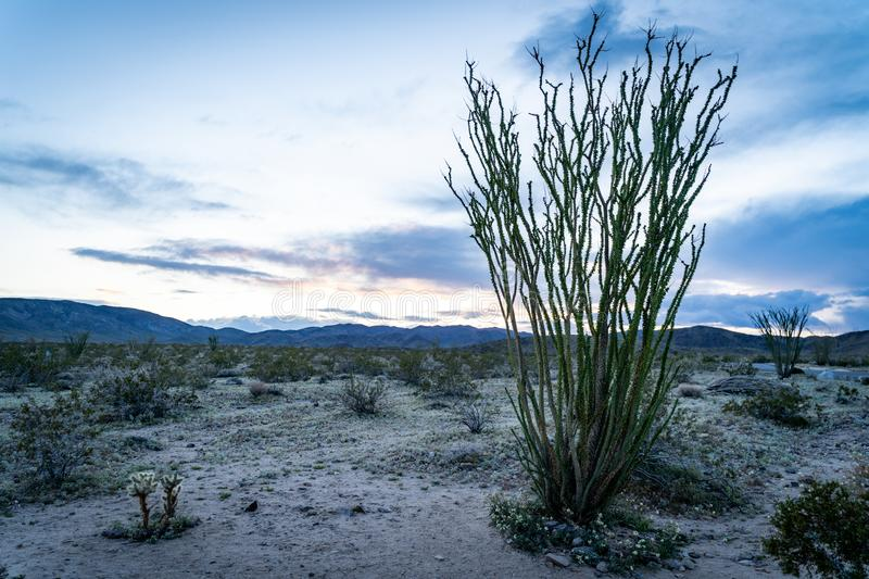 Green, leafing Ocotillo plant cactus at sunset. Taken in Joshua Tree National Park in California, at the Ocotillo Patch area royalty free stock image