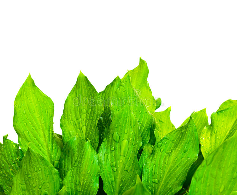 Green leafs. Summertime green leafs on white background stock photos