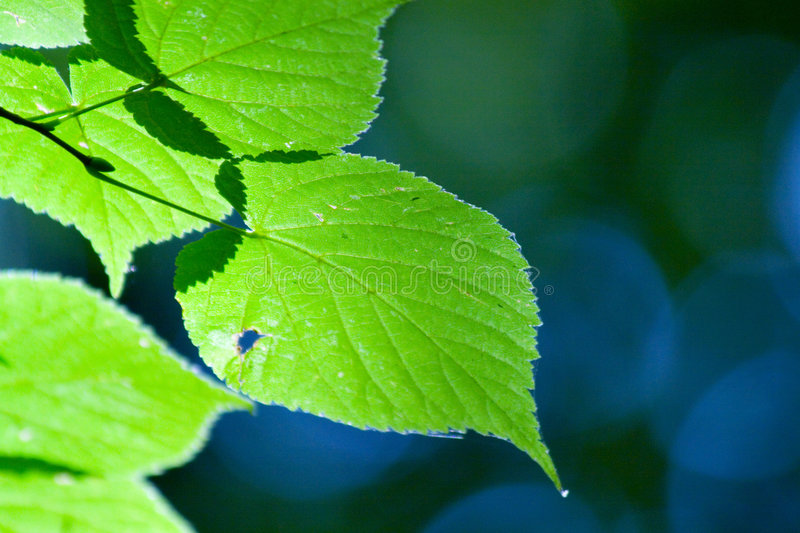 Green leafs. Photo of nice green leafs with cool detailed texture and good depht of field stock photo