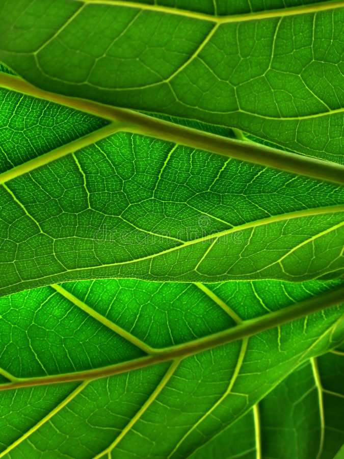 Green leafs. Close view of green leafs royalty free stock photo