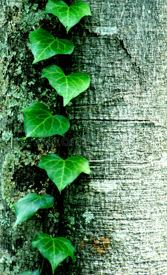Green leafs. Of a creeping plant against a tree-trunk stock photo