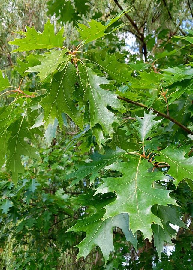 green leafs oak on tree stock photos