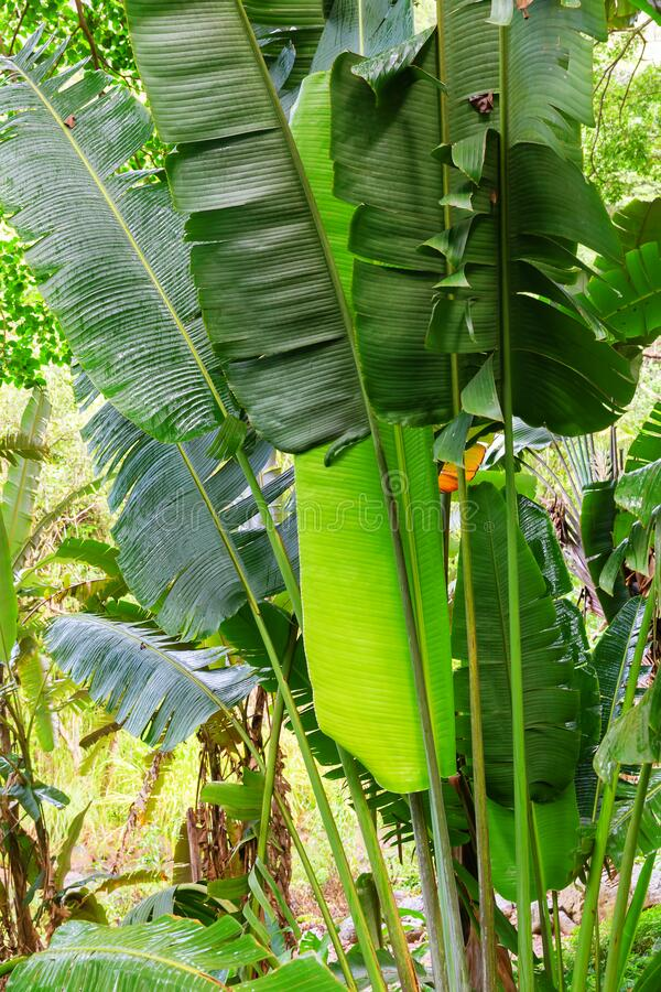 Free Green Leafs Of A Ravenala Madagascariensis Royalty Free Stock Photography - 180696527