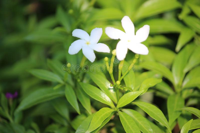 Green leafs with small white flowers. This image quality is high stock image