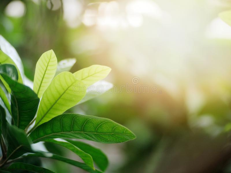 Green leafs in summer with sun light background stock photo