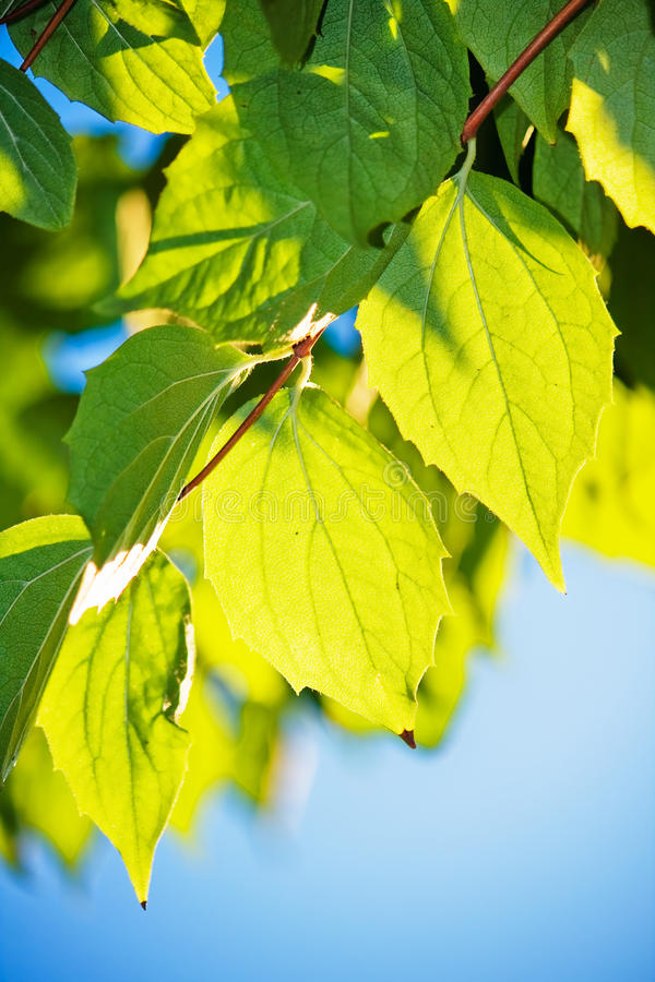 Green leafs in sunlight. With blue sky royalty free stock photo
