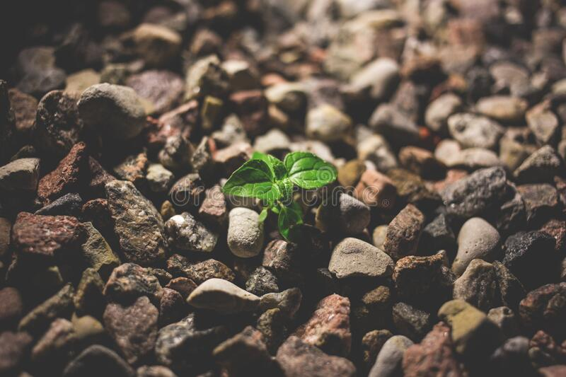 Green Leafy Plant Starting to Grow on Beige Racks royalty free stock image