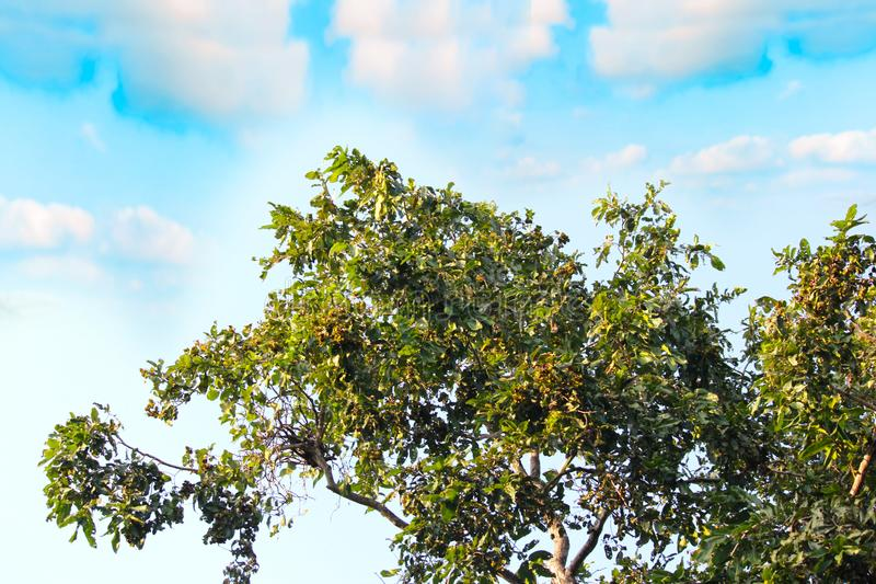 Green Leafy Tree Crown and Cloudy blue sky. Nature concept. Tree leaves in spring against blue sky background. crowns of trees with leaves against the sky royalty free stock photography