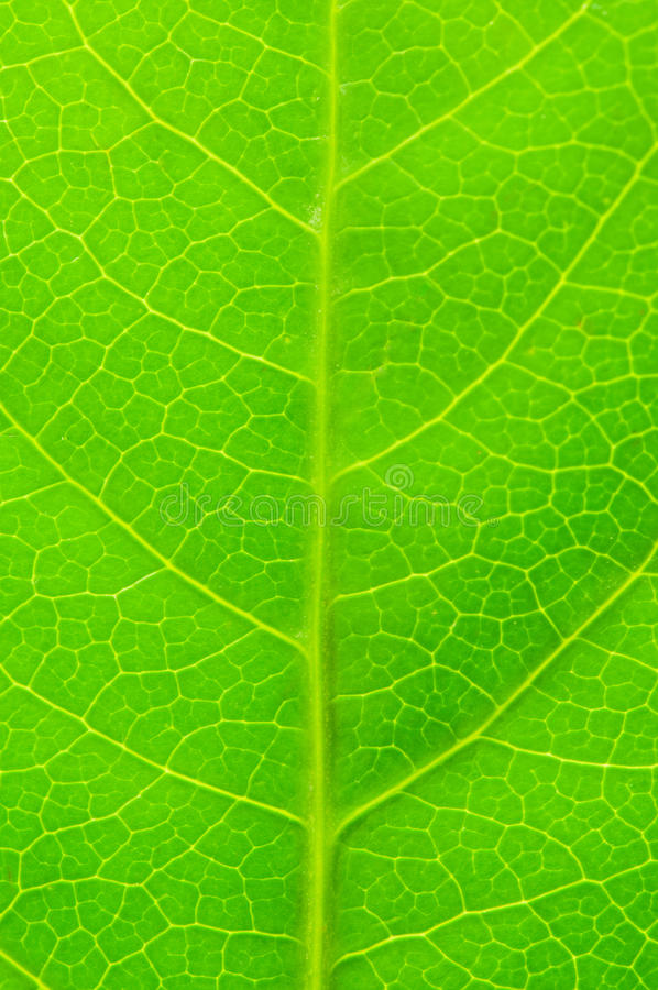 Download Green leave stock photo. Image of closeup, leave, textured - 11722792