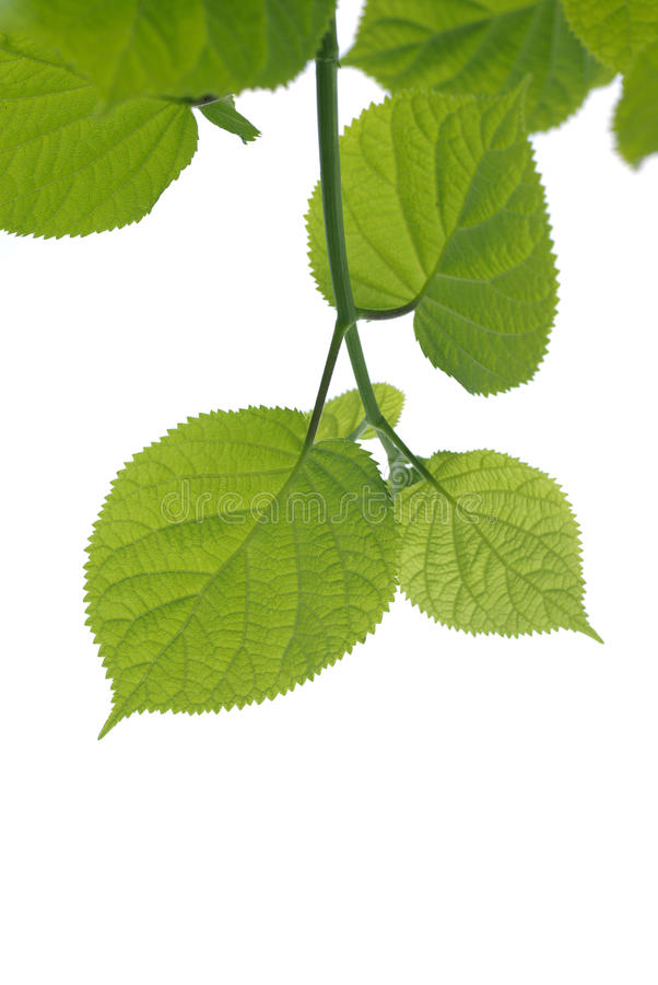 Green leave. Fresh and green leaves. Green leave on white background stock image